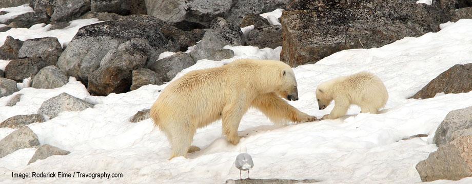 Polar Bears Spitsbergen